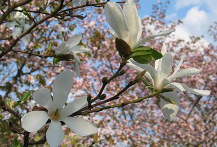 magnolia_kobus_mustila_kukat.preview
